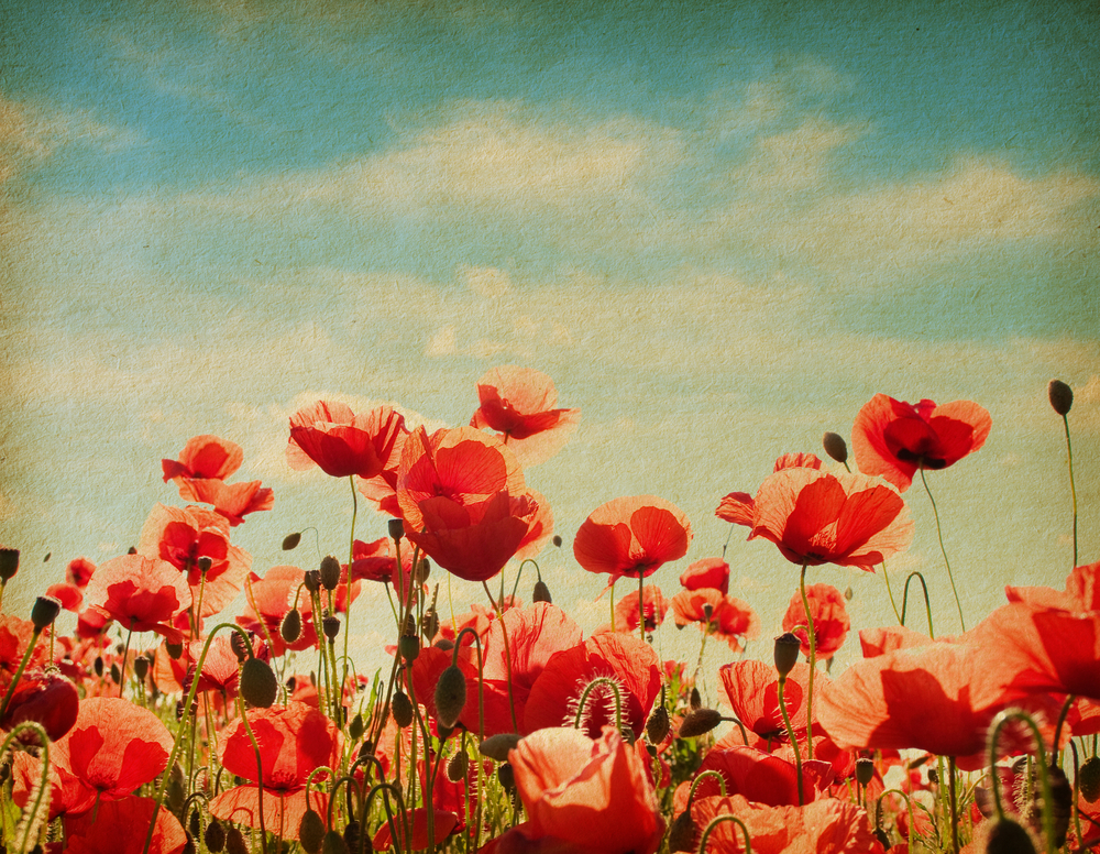 Red Paper Poppies Symbolize Soldiers Sacrifice